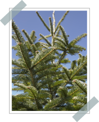 Abies Alba Pettinata